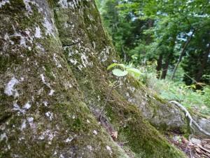 山ブナ爺の根元に発芽した幼木